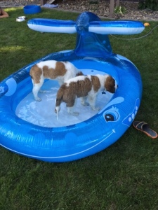 BLOG dogs in the pool
